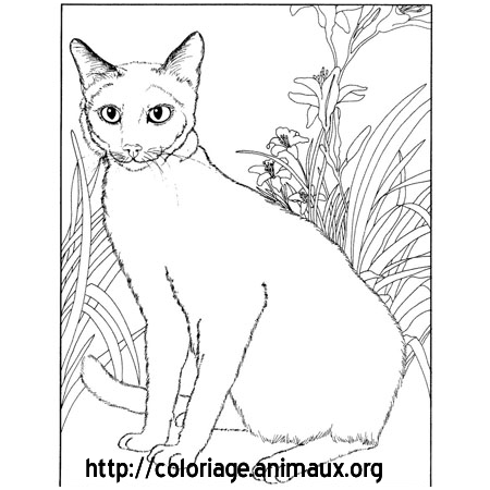 Chat siamois assis coloriage chat siamois assis sur - Dessin chat assis ...
