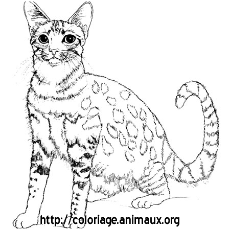Coloriage chat siamois